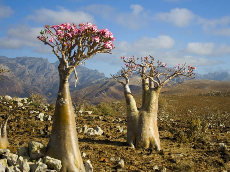 Adenium obesum – La rosa del desierto