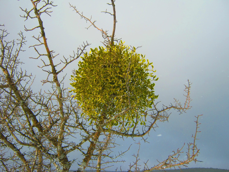 Muérdago – Magia en los árboles