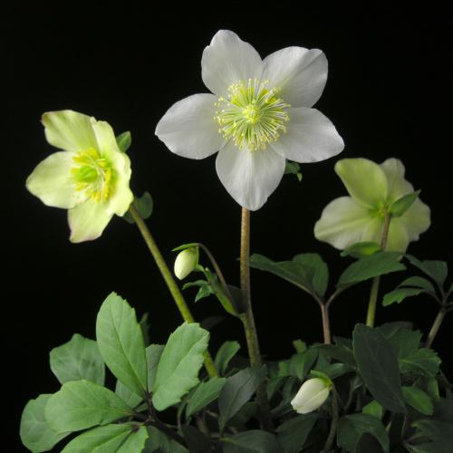 Helleborus niger – Rosa de Navidad
