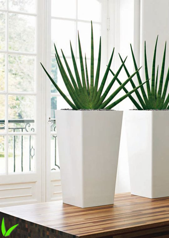 Sansevieria cylindrica – Hojas decorativas y bajo mantenimiento