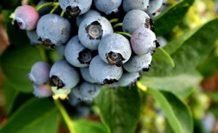 El arándano – Fruta del bosque por excelencia