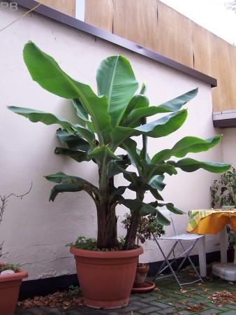 Platanera canaria musa acuminata dward cavendish for Banano de jardin