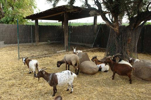 Cabras enanas del parque infantil del Garden center Catalunya Plants
