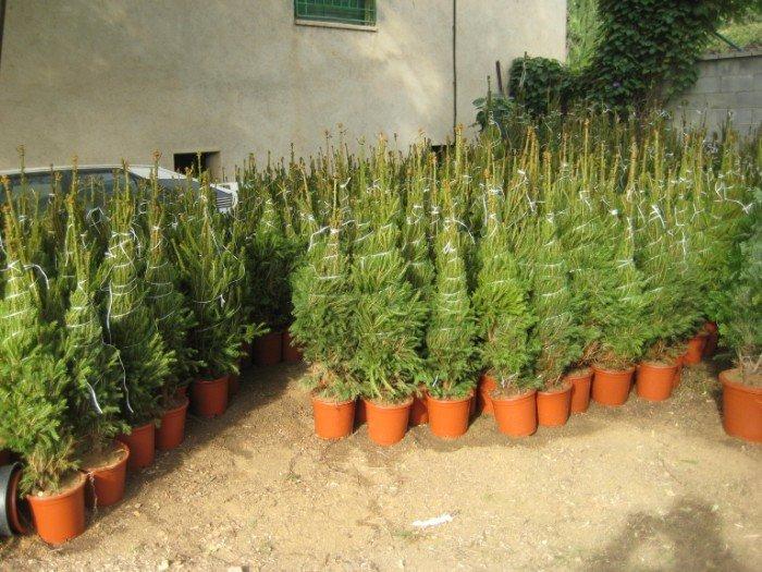 Ya tenemos a la venta los rboles de navidad garden for Jardin infantil los pinos