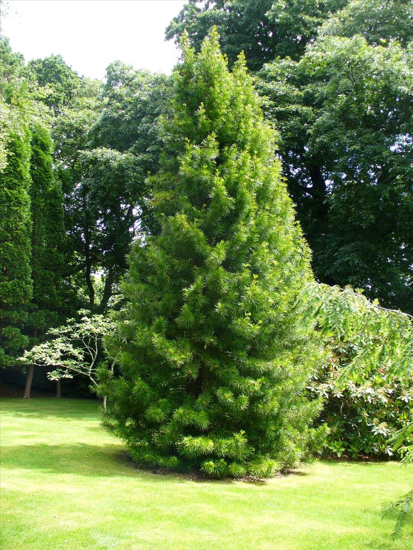 El pino parasol 230 millones de a os lo contemplan for Pinos para jardin