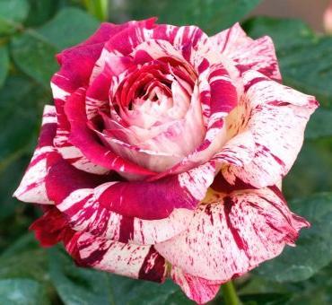 Ya ha comenzado la temporada de rosales