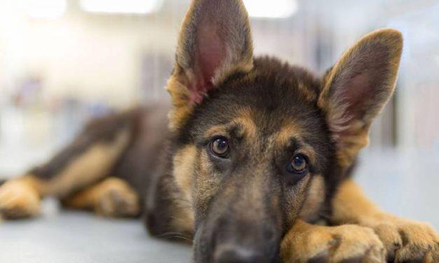 Cómo identificar los síntomas de enfermedad de un perro