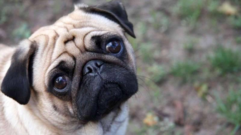 sintoma fiebre perros