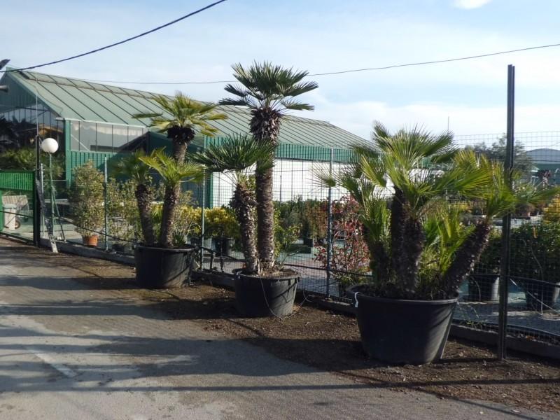 Venta de Palmeras en Barcelona | Garden Catalunya Plants (Sant ...