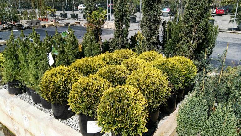 Venta de planta arbustiva en Barcelona