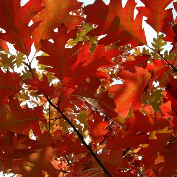 Quercus rubra el roble rojo americano garden catalunya for Arbol rojo jardin