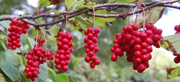 Schisandra chinensis - La fruta de los cinco sabores - Garden ...