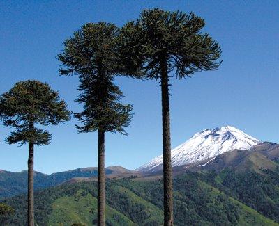 La araucaria monumento nacional de chile garden for Poda de arboles zona sur
