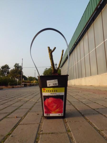 comprar-rosales-en-barcelona