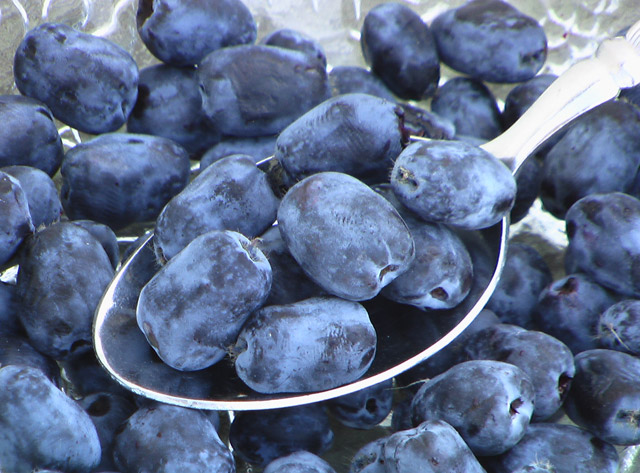 Lonicera caerulea – Madreselva de fruto comestible