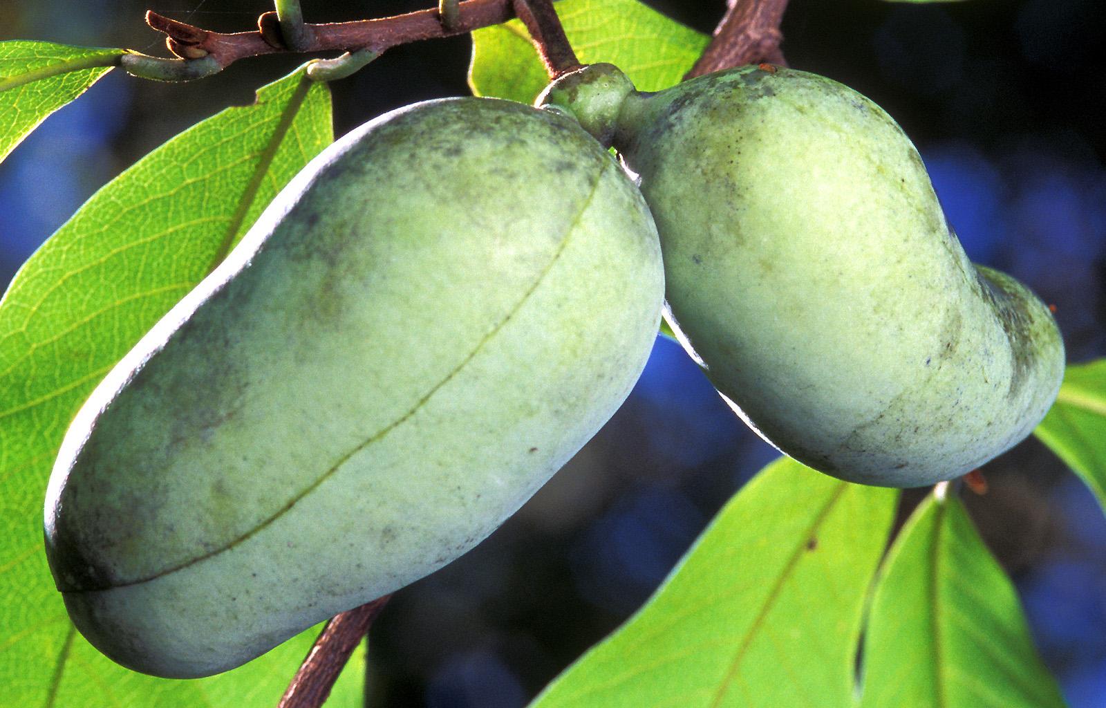 """El Paw Paw – La fruta """"menos"""" tropical."""