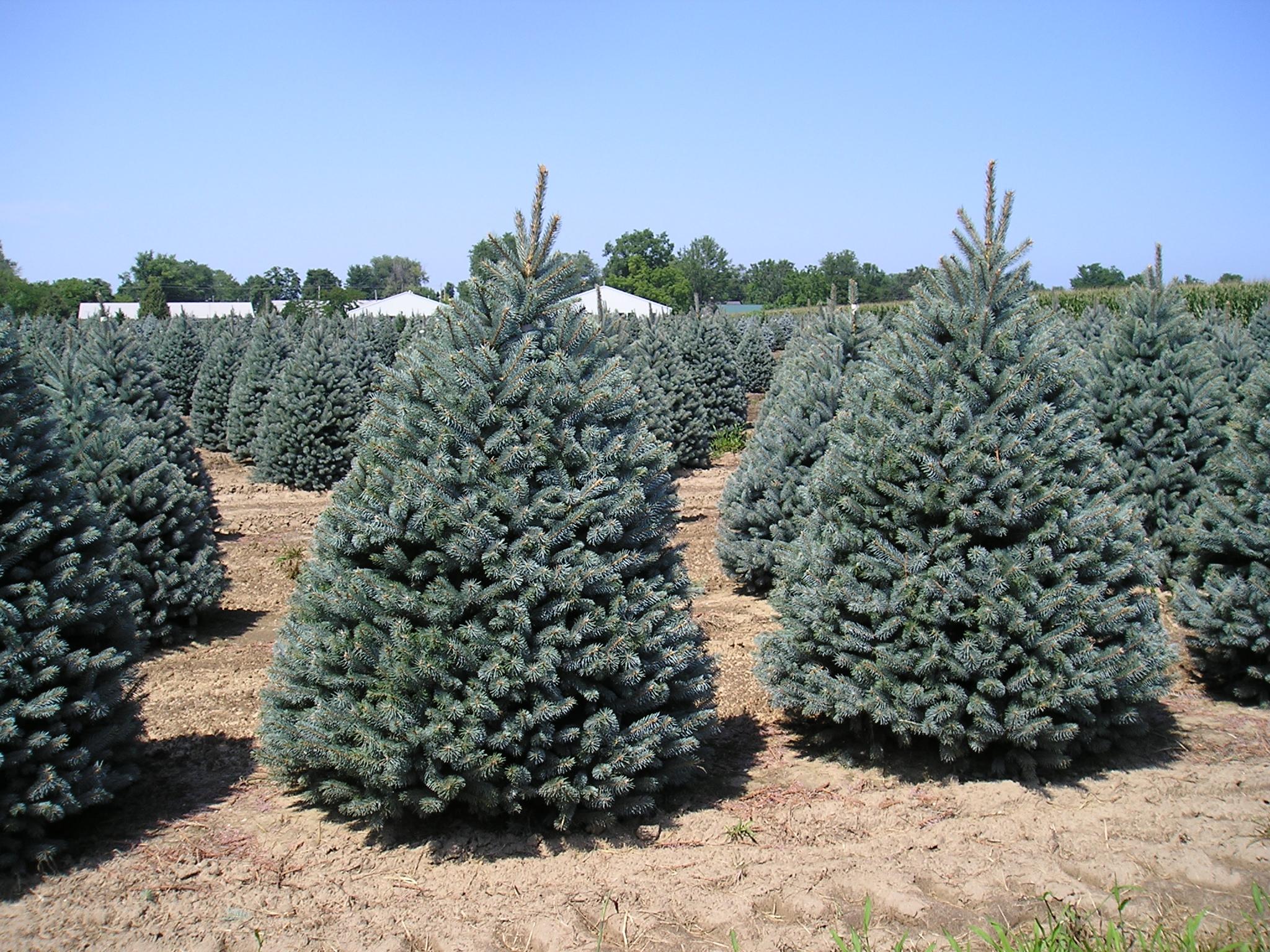 Picea pungens – El abeto azul