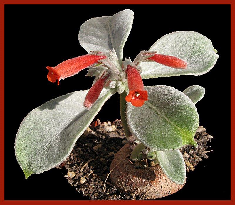 Sinningia leucotricha – El Edelweiss brasileño