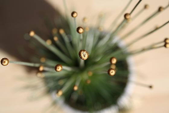Syngonanthus chrysanthus – El Mikado de las plantas