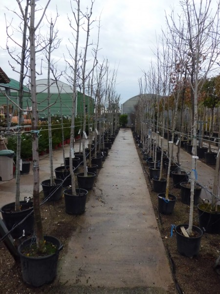 Venta de rboles en barcelona garden center catalunya for Precio abeto vivero