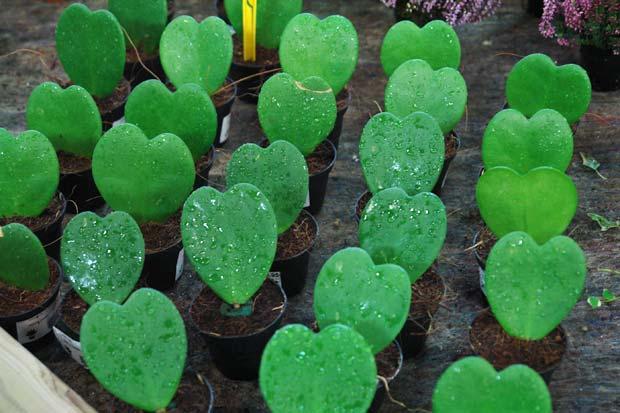 venta-de-cactus-corazon-hoya-kerri-barcelona