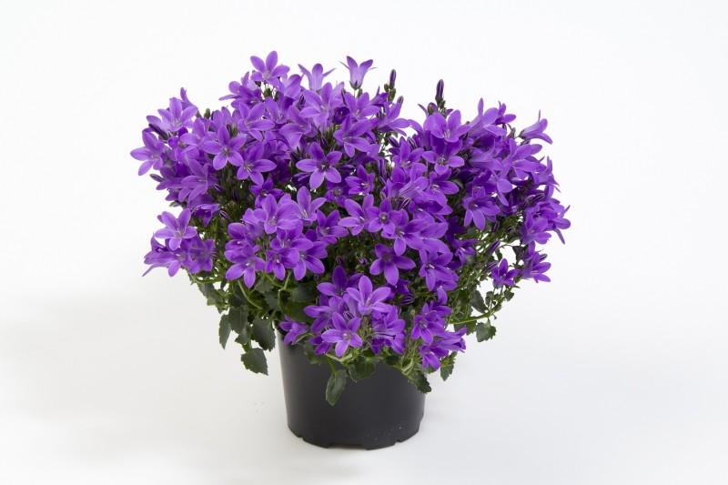 Oferta campanula en maceta de 11 cm de di metro a - Plantas de exterior con flor ...