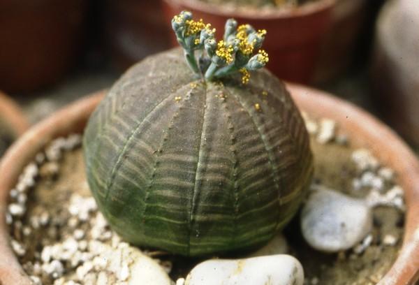 Euphorbia obesa – El cactus esférico