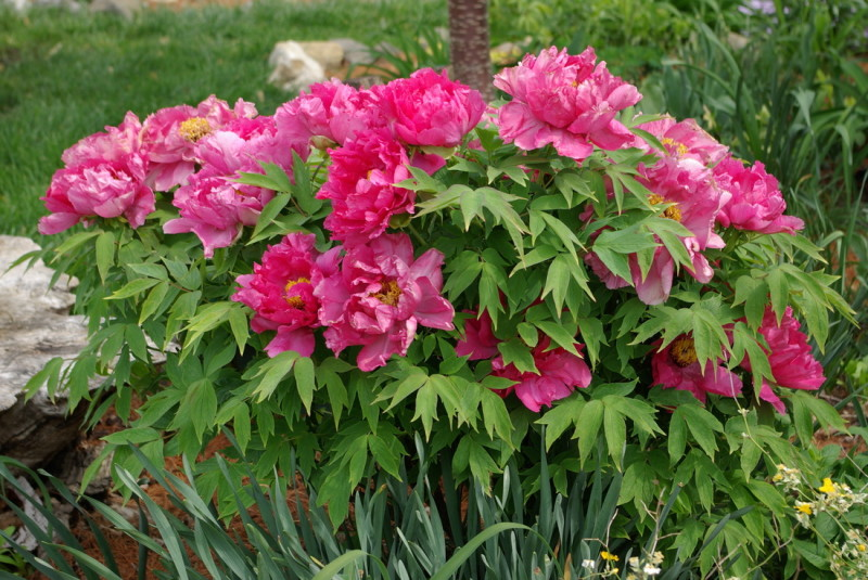 PAEONIA SUFFRUTICOSA - PORT PLANTA