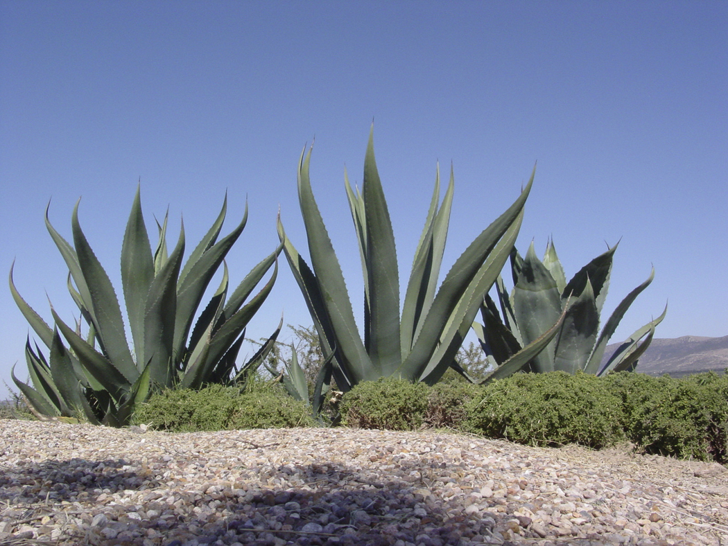 agave america - detall planta