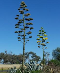 agave americana - vara floral