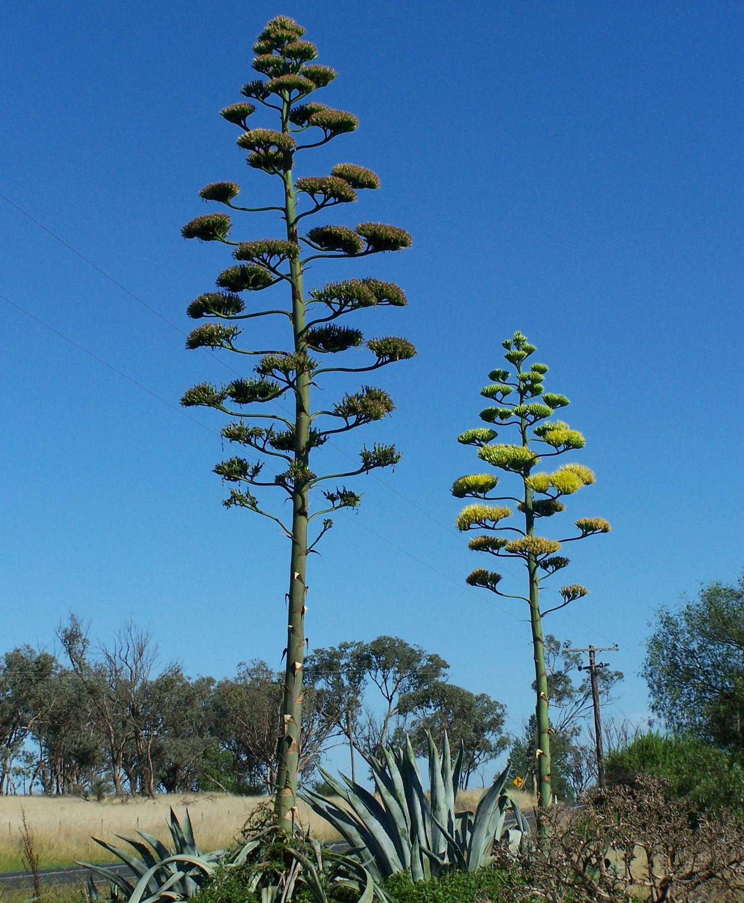 Agave americana – El más alto de los huéspedes mejicanos