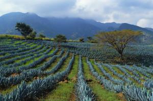 agave tequilana - plantació a jalisco (mèxic)