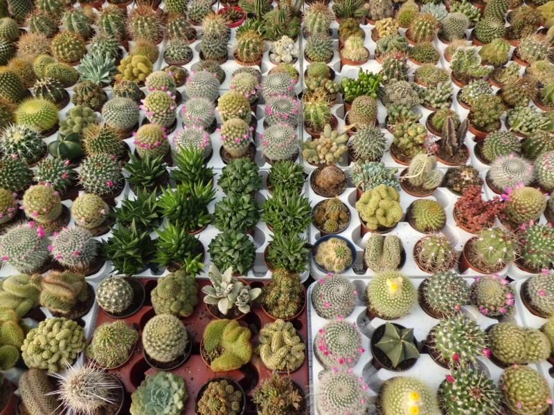 Oferta de enero cactus variados en maceta de 8 5 cm de for Cactus variedades