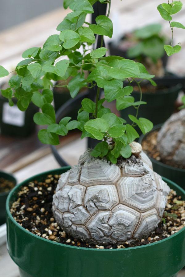 dioscorea la planta del ame garden catalunya plants