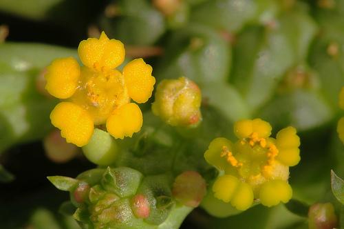 euphorbia flanaganii - detalle flor