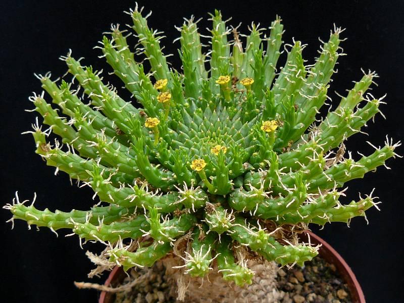 Euphorbia flanaganii – Cabeza de Medusa