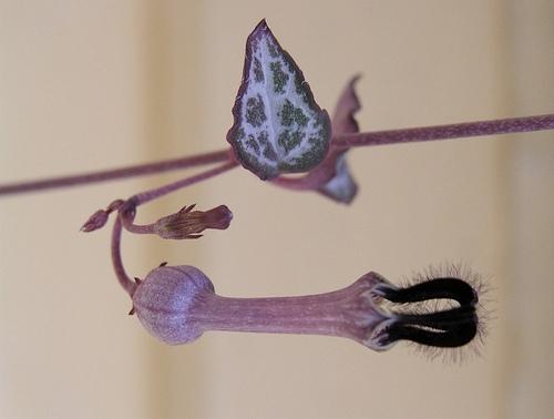 ceropegia - detalle flores