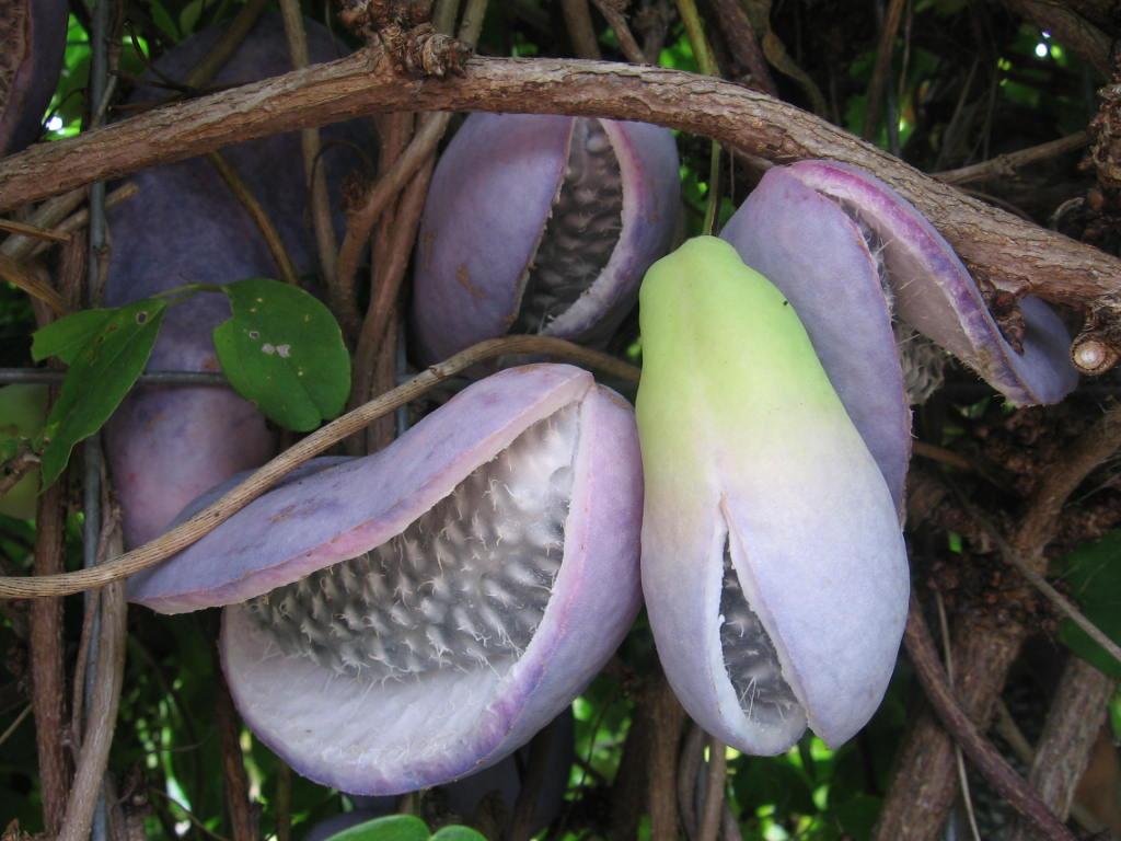 Akebia quinata – La trepadora chocolate