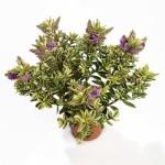 hebe variegata