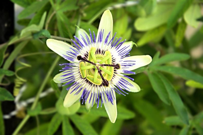 passiflora edulis - detalle flor