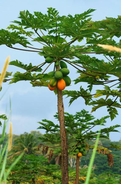 Carica papaya - porte árbol