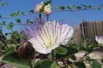 capparis spinosa - detalle flor
