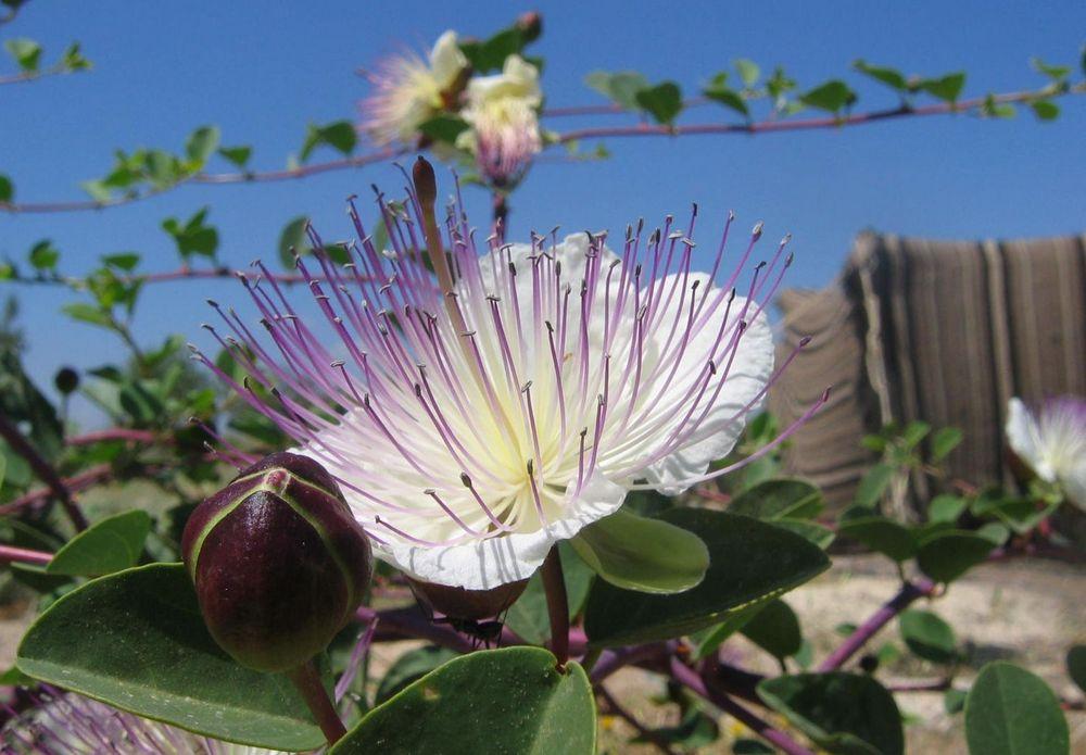 Capparis spinosa – La Planta de las Alcaparras