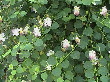 capparis spinosa - detalle planta