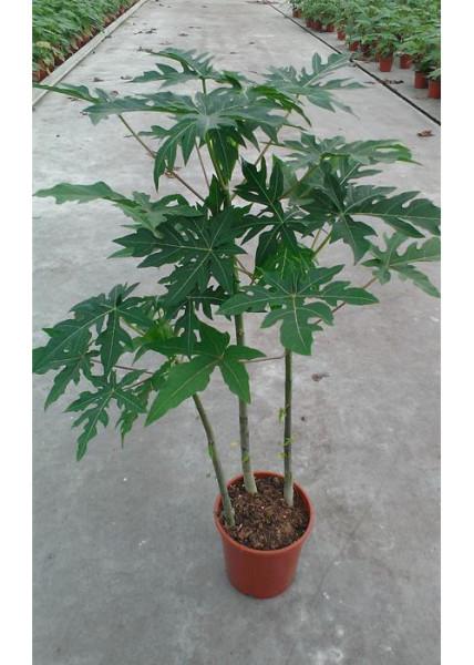 carica papaya - planta a la venta