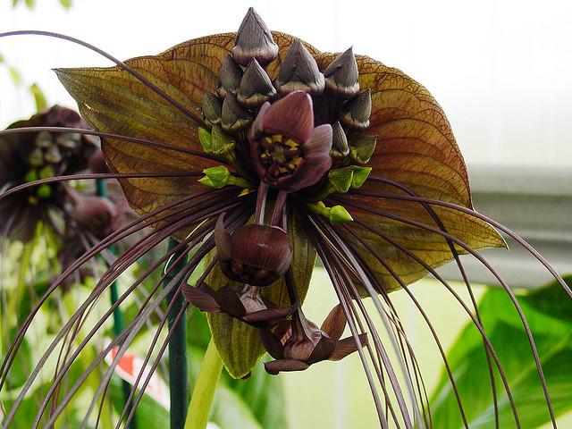 tacca chantrieri - detalle flores