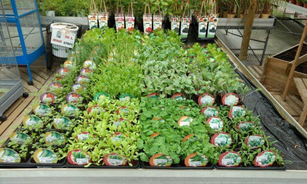 Plantel de Hortaliza de nuevo a la venta