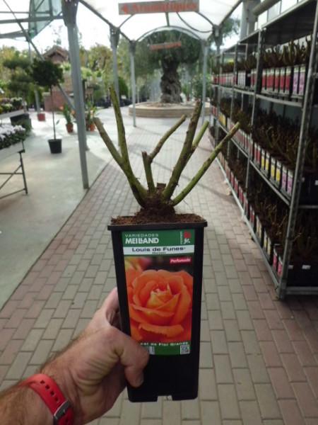 venta rosales 2