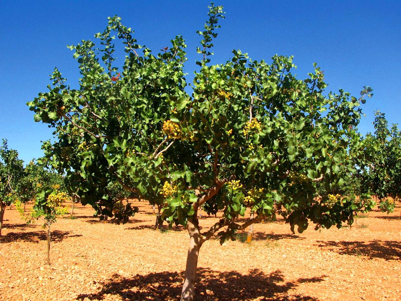 pistacia vera l arbre dels festucs garden catalunya plants