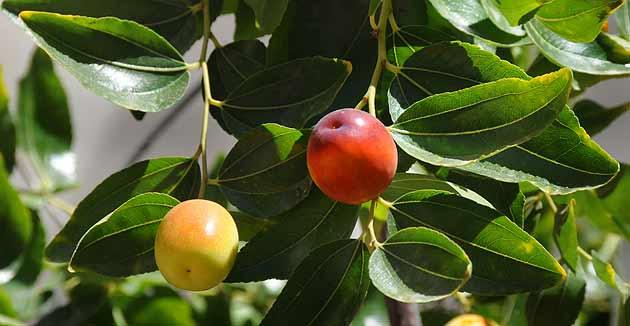 azufaifo - detalle frutos